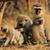 vervet monkeys stock photo © ecopic