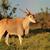eland antelope stock photo © ecopic
