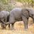 baby african elephants stock photo © ecopic