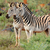plains zebras in natural habitat stock photo © ecopic