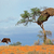 ostrich and acacia tree stock photo © ecopic