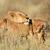 fiatal · oroszlán · sivatag · Dél-Afrika · szemek · portré - stock fotó © EcoPic