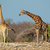 giraffes in natural habitat stock photo © ecopic