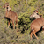 kudu antelopes stock photo © ecopic