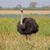 male ostrich stock photo © ecopic