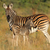 plains zebra with foal stock photo © ecopic