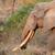 Африканский · слон · мужчины · большой · трава · ходьбе · кожи - Сток-фото © ecopic