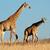 sudáfrica · jirafas · imagen · grande · familia - foto stock © ecopic