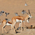 springbok and doves stock photo © ecopic