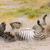 zebra · pyłu · artystyczny · piasku · Afryki · powrót - zdjęcia stock © ecopic