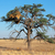 acacia tree and weaver nest stock photo © ecopic