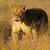 lioness walking stock photo © ecopic