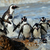 african penguins stock photo © ecopic