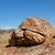 leopard tortoise stock photo © ecopic
