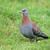 piccione · erba · verde · amore · uccello · ritratto · animali - foto d'archivio © ecopic