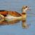 egyptian goose stock photo © ecopic