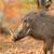warthog in natural habitat stock photo © ecopic