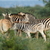 plains zebras in natural habitat stock photo © ecopic