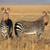 hegy · zebrák · veszélyeztetett · zebra · park · Dél-Afrika - stock fotó © ecopic