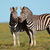 plains zebras stock photo © ecopic