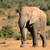 Африканский · слон · бык · огромный · Буш · природы · ходьбе - Сток-фото © ecopic