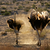 ostriches in dust stock photo © ecopic