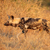 african wild dog stock photo © ecopic