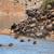 wildebeest migration stock photo © ecopic