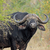 african buffalo bull stock photo © ecopic