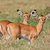 impala antelope lambs stock photo © ecopic