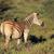 alföld · zebrák · természetes · élőhely · kettő · Dél-Afrika - stock fotó © ecopic