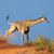 giraffe on sand dune stock photo © ecopic