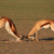 fighting springbok antelopes stock photo © ecopic