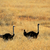 ostrich landscape stock photo © ecopic