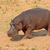 hippopotamus on land stock photo © ecopic