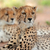éber · gepárd · sivatag · Dél-Afrika · szemek · macska - stock fotó © ecopic