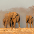 african elephants in dust stock photo © ecopic