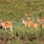 eland antelopes in natural habitat stock photo © ecopic