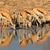 springbok antelopes at waterhole stock photo © ecopic