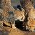 cheetahs drinking water stock photo © ecopic