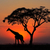silhouetted tree and giraffe stock photo © ecopic