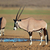 gemsbok antelopes stock photo © ecopic