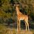 baby giraffe stock photo © ecopic
