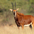 Sable antelope stock photo © EcoPic