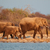 african elephants covered in dust stock photo © ecopic