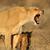 агрессивный · зубов · пустыне · ЮАР · лев - Сток-фото © ecopic