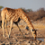 giraffe drinking water stock photo © ecopic
