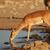 impala antelope at waterhole stock photo © ecopic