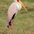 yellow billed stork stock photo © ecopic
