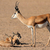 Springbok with lambs stock photo © EcoPic